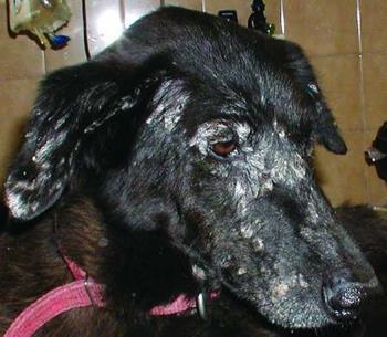 Dogilike.com :: จับตาโรคลิชมาเนีย โรคติดเชื้อโปรตัวซัวน่ากลัวในสุนัขและมนุษย์