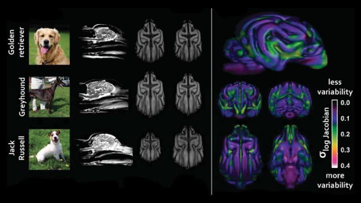 Dogilike.com :: ผลวิจัยชี้! การคัดเลือกพันธุ์มีผลต่อกายวิภาคสมองของสุนัข