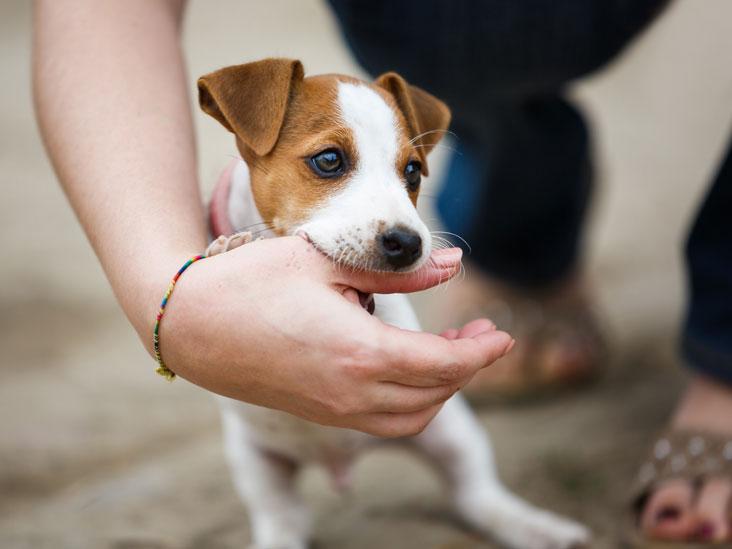 Dogilike.com :: แบคทีเรียในน้ำลายน้องหมา (อาจ) ทำเราป่วยได้ ?