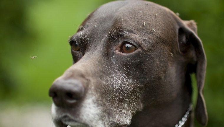 Dogilike.com :: 3 โรคน่ากลัวของน้องหมาที่ติดมาจาก ยุง