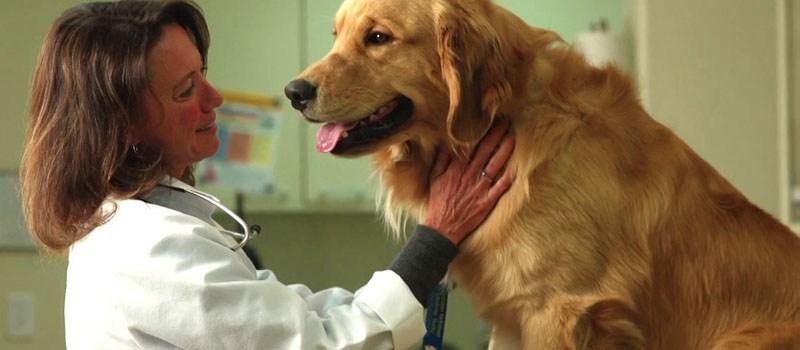 Dogilike.com :: จริงหรือที่ว่า ... การทำหมันสุนัขพันธุ์ใหญ่เสี่ยงป่วยโรคอ้วนและโรคกระดูก