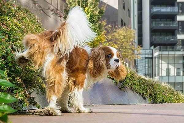 Dogilike.com :: สุนัขฉี่เป็นเลือด (ฉี่ปนเลือด) เสี่ยงป่วยโรคร้ายอะไรได้บ้าง