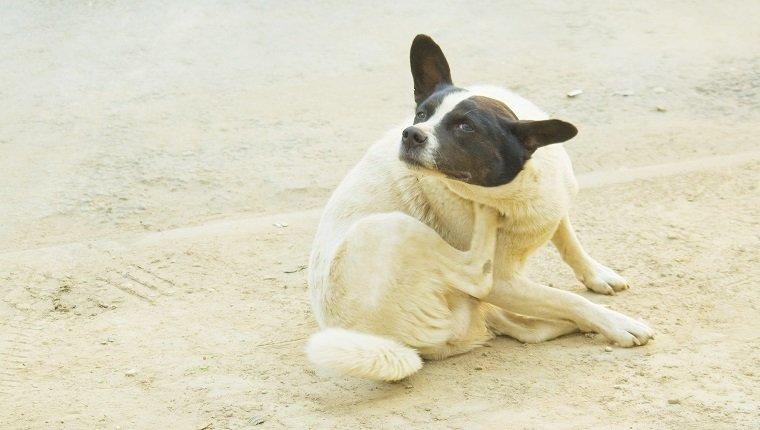 Dogilike.com :: การตรวจโรคภูมิแพ้ผิวหนังในสุนัขอย่างง่าย