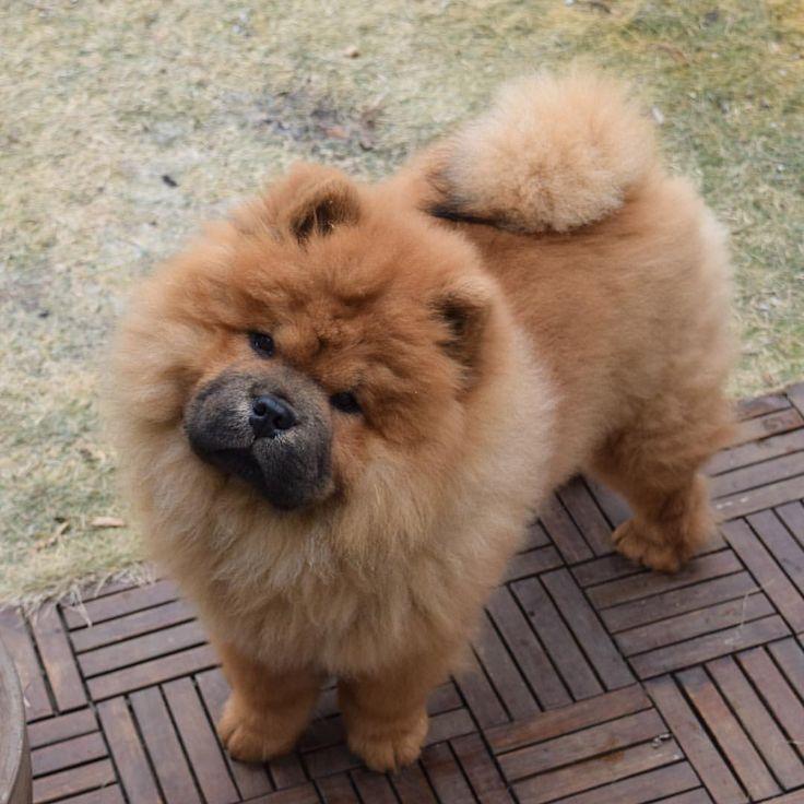 Dogilike.com :: จัดอันดับ 5 สายพันธุ์น้องหมาที่รูปร่างหน้าตาคล้าย สิงโต