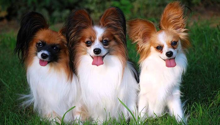 Dogilike.com :: จัดอันดับ 5 สายพันธุ์น้องหมา ใบหูใหญ่ ที่ใครเห็นเป็นต้องตกหลุมรัก