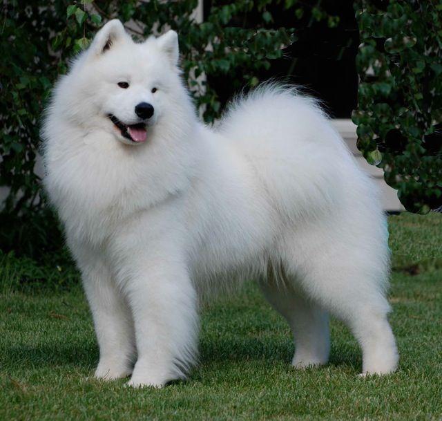 Dogilike.com :: 5 สายพันธุ์น้องหมาขนสีขาวสุดฮิต ที่ใคร ๆ เห็นก็อดใจไม่ไหว