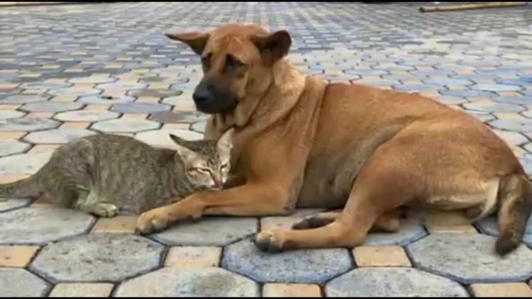 Dogilike.com :: เจ้าแดง หมาวัดใจดีให้แมวกำพร้ากินนม