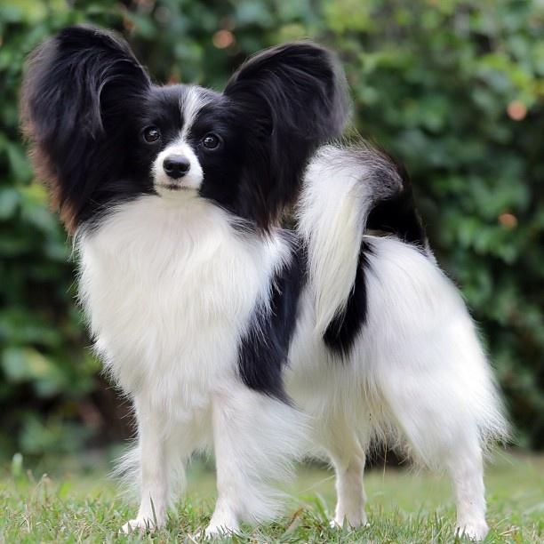 Dogilike.com :: จัดอันดับ 5 น้องหมาตัวจิ๋วแต่เฝ้าบ้านดีเยี่ยม !!