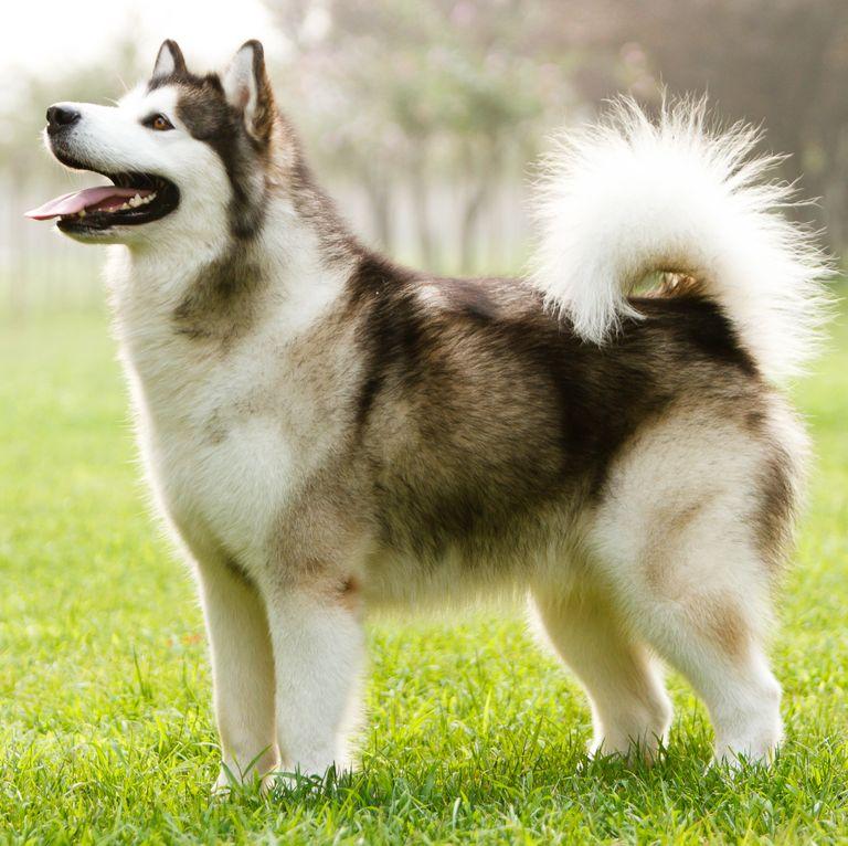 Dogilike.com :: จัดอันดับ 5 สายพันธุ์น้องหมาหางม้วน ดูกี่ทีก็น่ารักน่ากอด