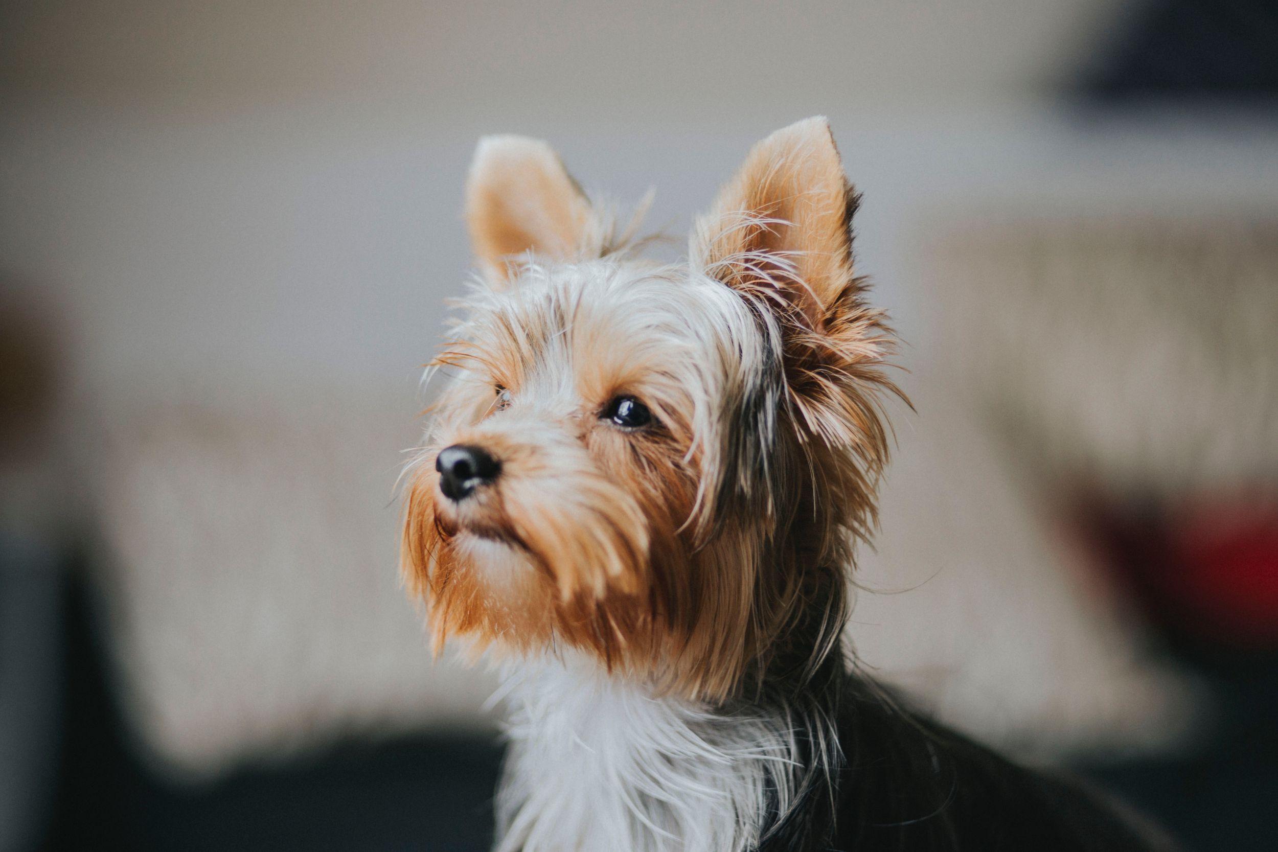 Dogilike.com :: จัดอันดับ 5 สายพันธุ์น้องหมาอ่อนโยนเหมาะเลี้ยงเป็นเพื่อนผู้สูงอายุ