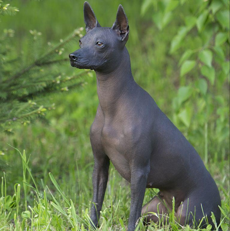 Dogilike.com :: จัดอันดับ 5 สายพันธุ์น้องหมาไร้ขนเหมาะสำหรับคนที่เป็นโรคภูมิแพ้
