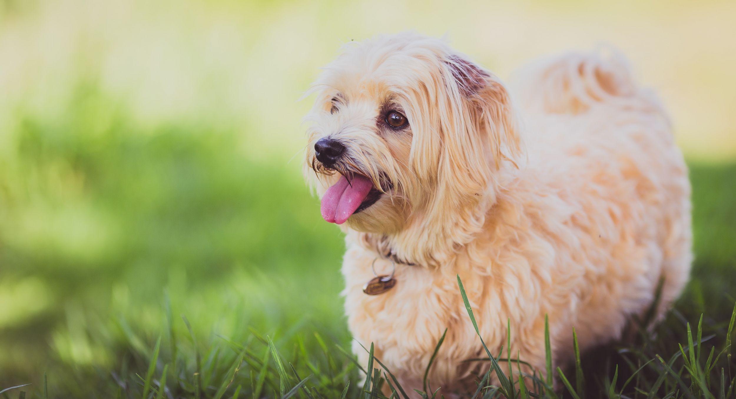 Dogilike.com :: จัดอันดับ 5 น้องหมาตัวเล็กแต่ใจกล้า น่ารักน่าเลี้ยง