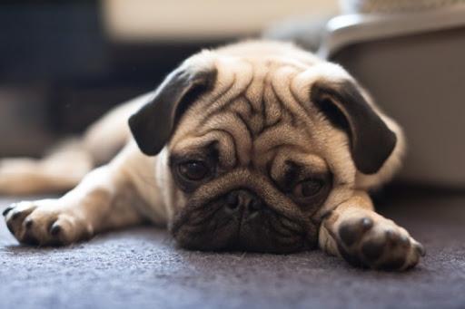 Dogilike.com :: จริงหรือเปล่าที่น้องหมา งอน เมื่อถูกเจ้าของดุ ...