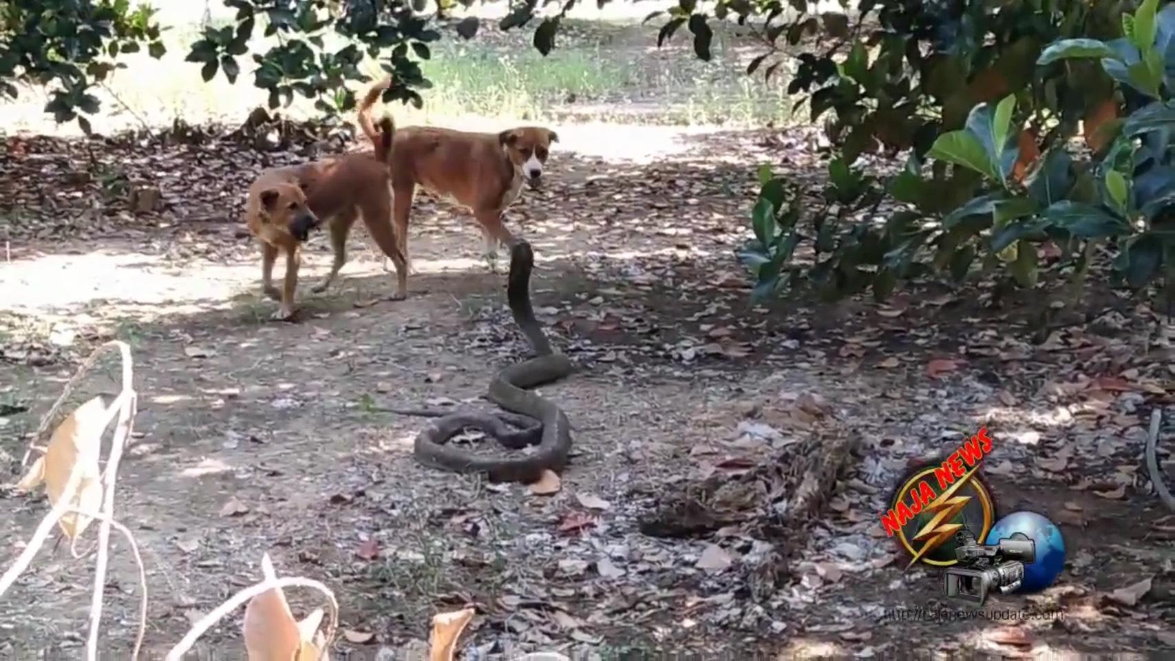 Dogilike.com :: สองสุนัขรุมกัดงูจงอางยักษ์ สุดท้ายเจ้าของหมาแจ้งกู้ภัยมาช่วยงู