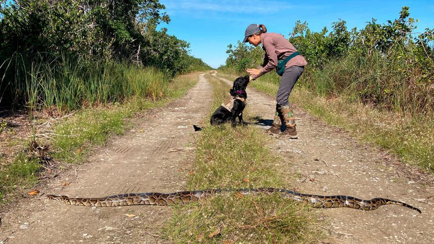 Dogilike.com :: สุดทึ่ง! มะกันใช้สุนัขดมกลิ่นงูเหลือม หลังเป็นภัยคุกคามต่อระบบนิเวศ