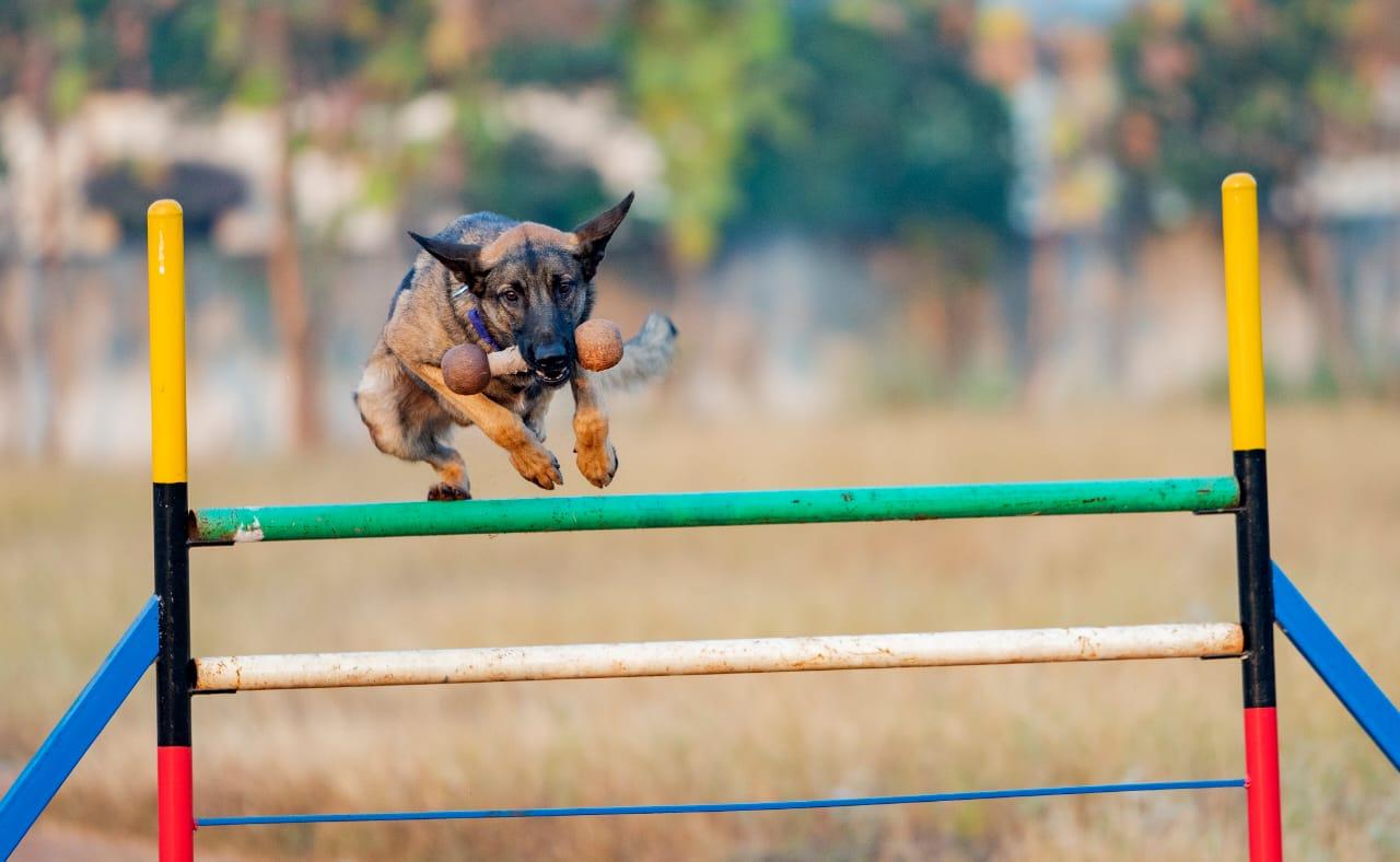 Dogilike.com :: สุดยอด! สุนัขดมกลิ่นได้รับรางวัล หลังช่วยคลายปมหลายดคี