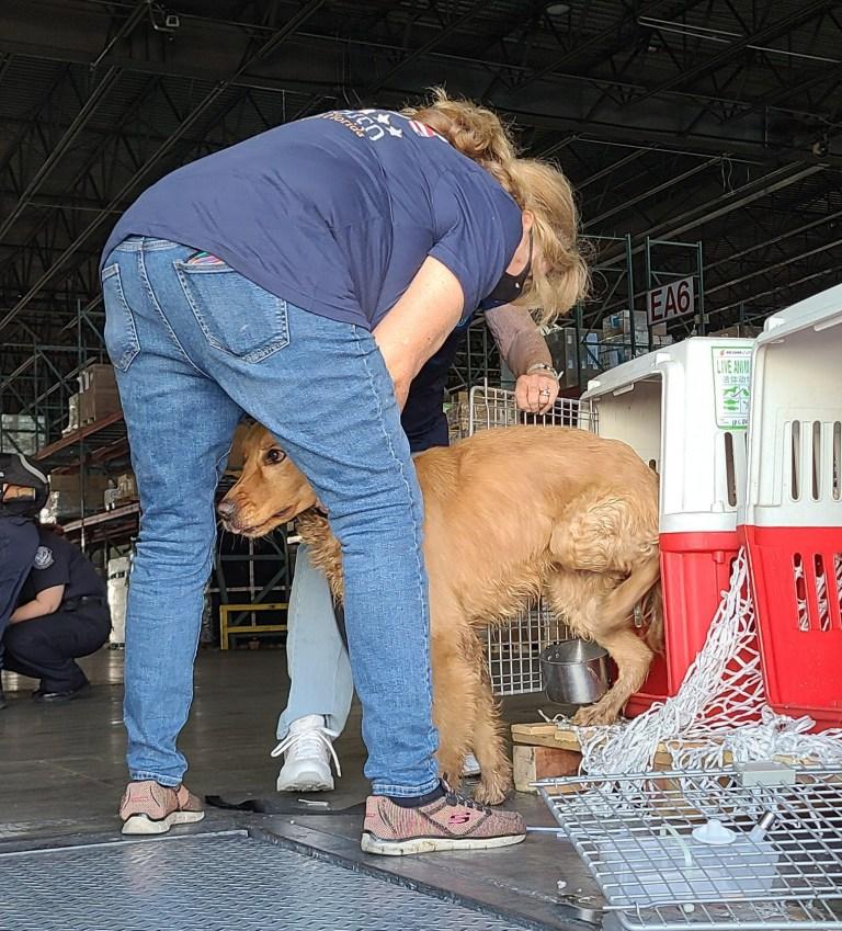 Dogilike.com :: เรื่องราวชวนยิ้ม! เมื่อ 20 โกลเด้นฯถูกช่วยชีวิตจากโรงฆ่าสัตว์