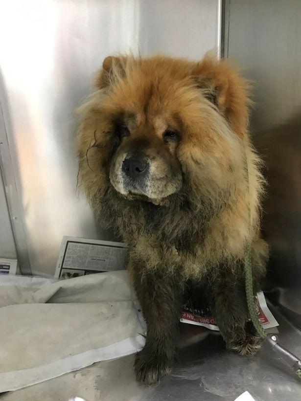 Dogilike.com :: รอดหวิด! รถไฟระทึกเกือบชนสุนัขพันธุ์เชาเชา คาดพลัดหลงกับเจ้าของ