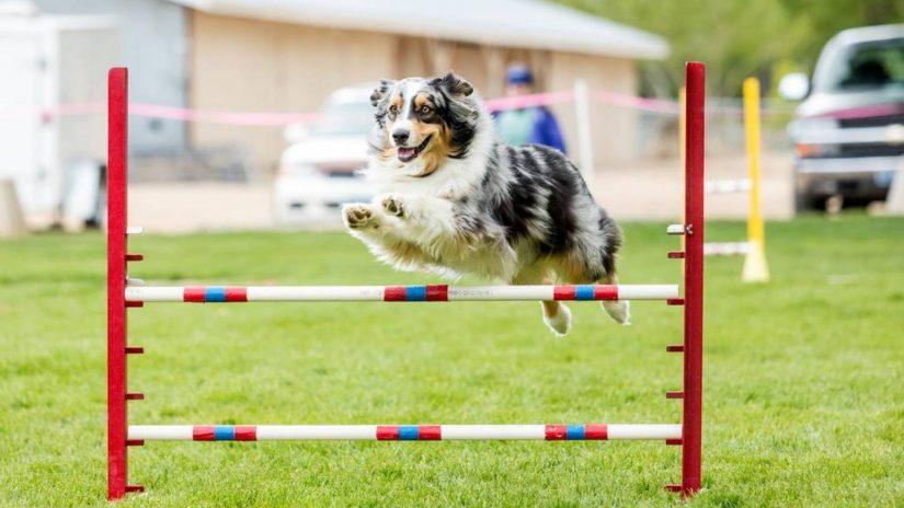 Dogilike.com :: ชวนน้องหมามาเล่น Dog Agility ... กิจกรรมนี้เล่นแล้วดียังไงนะ