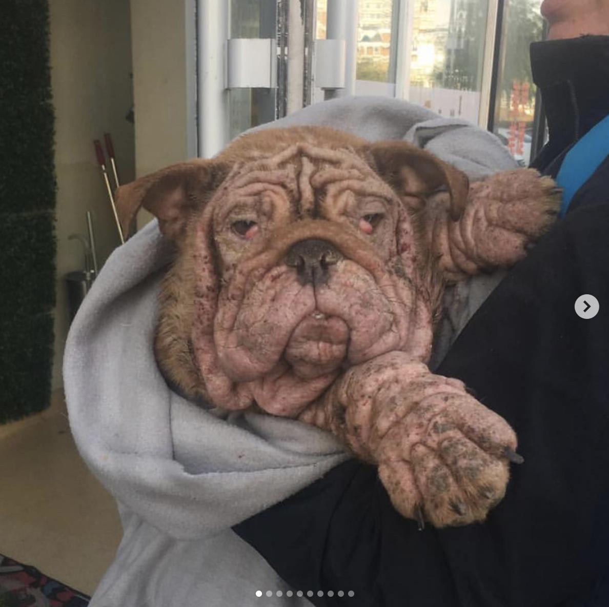 Dogilike.com :: ชีวิตใหม่ของ �พัมกิ้น� บูลด็อกที่อยู่รอดริมถนนโดยการกินใบไม้