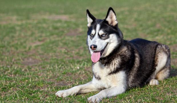 Dogilike.com :: จัดอันดับ 5 สุดยอดสายพันธุ์น้องหมาที่เลี้ยงยากที่สุด