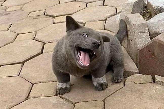 Dogilike.com :: มารู้จักเจ้า �Dui� น้องหมาสายฮาจากเวียดนาม