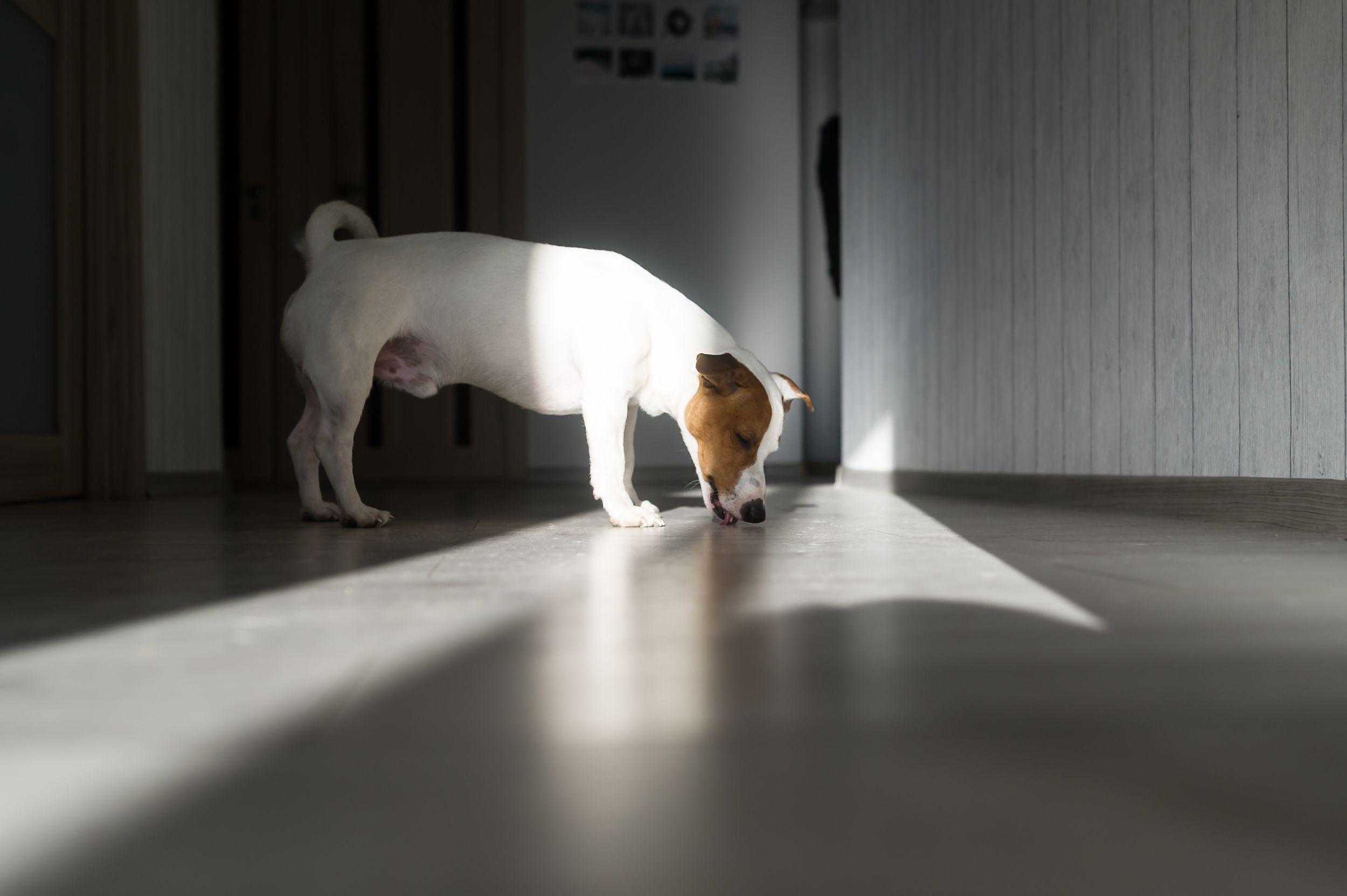Dogilike.com :: ไขปัญหา น้องหมาชอบเลียพื้น ... แบบนี้ผิดปกติรึเปล่านะ