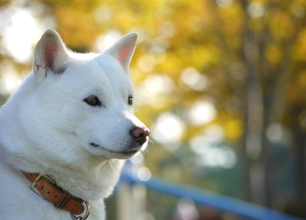 Dogilike.com :: 6 สายพันธุ์น้องหมาที่ได้ขึ้นทะเบียนเป็นสัตว์สงวนของญี่ปุ่น