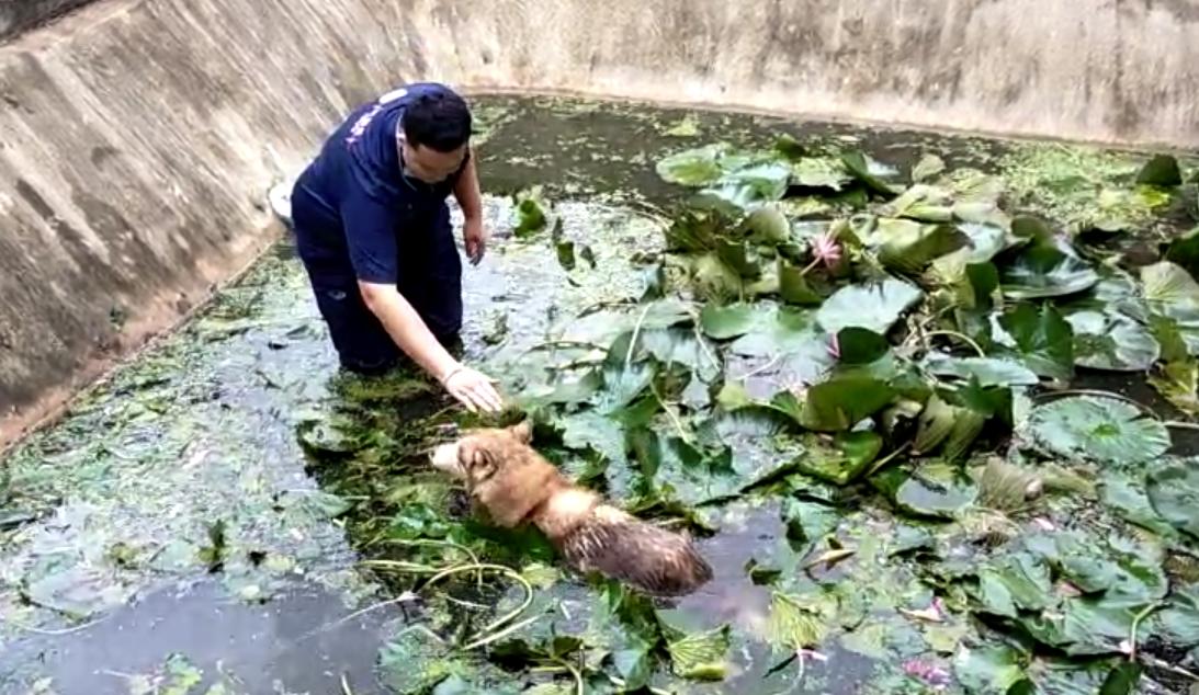 Dogilike.com :: ซนจนได้เรื่อง ไซบีเรียนวิ่งตกบ่อ โชคดีกู้ภัยช่วยทัน!!