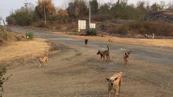 Dogilike.com :: สุดเศร้า ครูวัยเกษียณเผยหมาล้นอ่างเก็บน้ำห้วยน้ำก้อ ไม่มีคนใช้ข้าว 4 วัน พบลูกหมาอดตาย