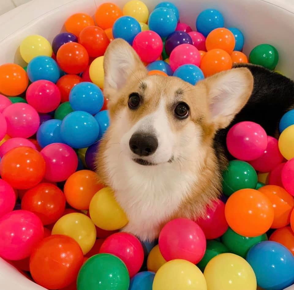 Dogilike.com :: ทาสหมาต้องกรี๊ด! สาวเปิดรับสมัครพี่เลี้ยงหมาคอร์กี้แม่ลูกอ่อน