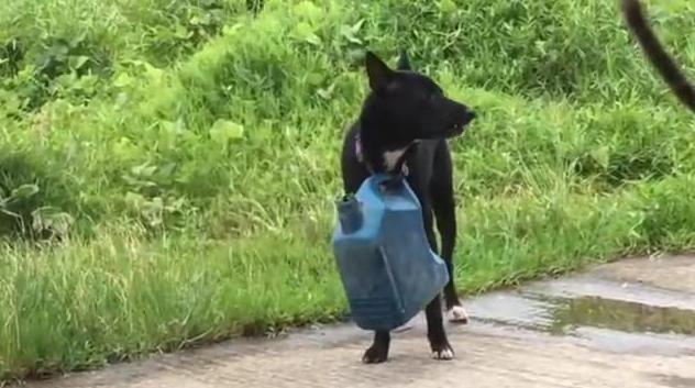 Dogilike.com :: จ๋อยเลย! หมาแสบโดนเจ้าของดัดนิสัยเอาแกลลอนห้อยคอ