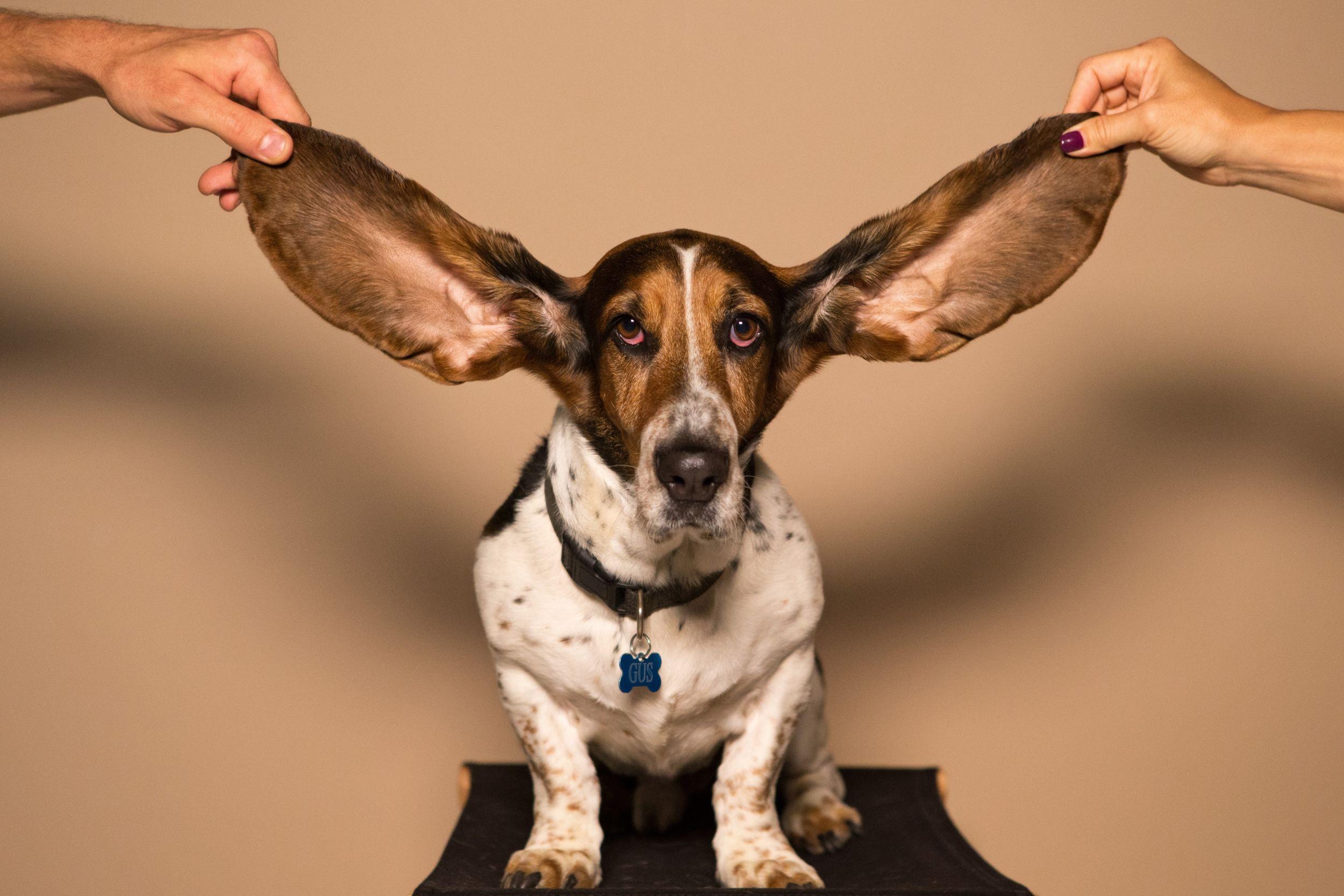 Dogilike.com :: ไขข้อสงสัย! ทำไมถึงต้องถอนขนในหูให้น้องหมา