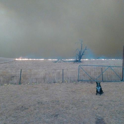 Dogilike.com :: เจ้า Patsy สุนัขที่ต้อนแกะทั้งฝูงให้รอดตายจากไฟป่าออสเตรเลีย !