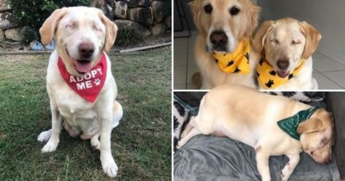 Dogilike.com :: ชาวเน็ตร่วมใจ! ช่วยเจ้า Dumpling ลาบราดอร์ตาบอดตามหาบ้านใหม่