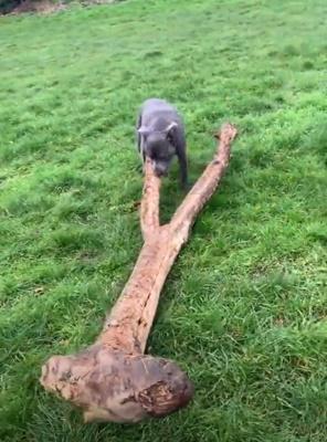 Dogilike.com :: แม่จ๋าหนูเจอกิ่งไม้! เผยคลิปสุดขำเมื่อตูบทำเจ้าของตกใจแบบนี้