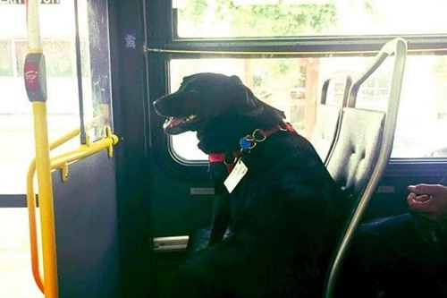 Dogilike.com :: ไม่ง้อเจ้าของ! น้องหมาแสนรู้นั่งบัสไปกลับสวนสาธารณะเองทุกวัน
