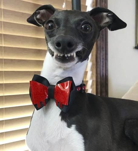 Dogilike.com :: ต้องละลายแล้วปะ! เจ้า Penelope ตูบหน้ายิ้มที่ชาวเน็ตหลงรักทั่วโลก