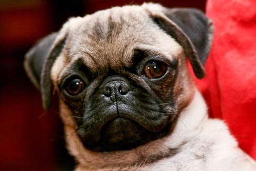 Dogilike.com :: หนุ่มเผยภาพ MRI หมาปั๊กสุดรัก ชาวเน็ตบอกว่า ทั้งน่ารักทั้งหลอน!
