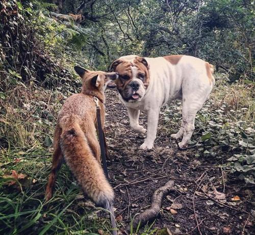 Dogilike.com :: ดิสนีย์มีชีวิต! ตูบเป็นเพื่อนซี้กับสุนัขจิ้งจอกคล้ายThe Fox and the Hound