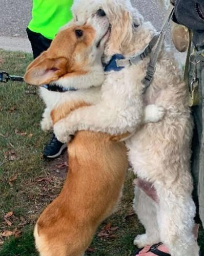 Dogilike.com :: รู้จักเจ้า Wallace คอร์กี้สายแบ๊ว ชอบกอดเพื่อนสี่ขาและคนที่รัก!