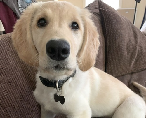 Dogilike.com :: เจ้า Porter โกลเด้นฯที่มีบั้นท้ายน่ารักจนกลายเป็นไวรัลไปทั่วโลก!