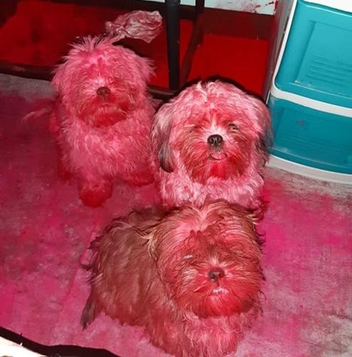Dogilike.com :: เจ้าของช็อก! 3 ตูบแสบแอบรื้อกระเป๋าเครื่องสำอาง แดงไปทั่วบ้านแบบนี้