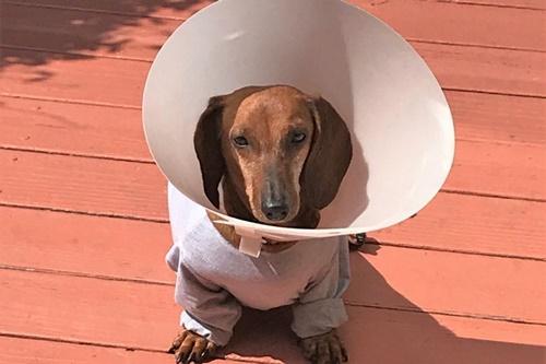 Dogilike.com :: ปลื้ม! ชุบชีวิตน้องหมาดัชชุน หลังเจ้าของเก่าละเลยจนเป็นเนื้องอก