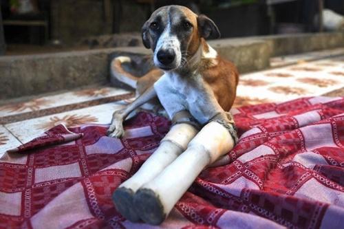 Dogilike.com :: ชุบชีวิต! ตูบจรจัดได้ขาเทียมใหม่หลังถูกรถไฟชนขาขาด 2 ข้าง
