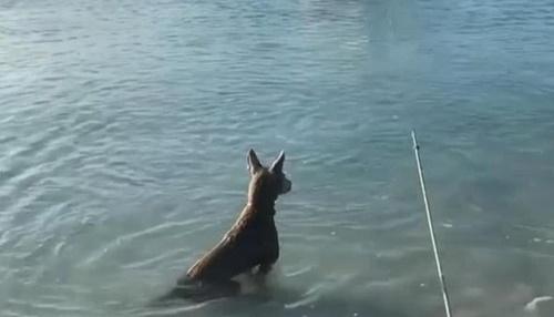 Dogilike.com :: เผยคลิปเจ้าตูบกล้าหาญกระโจนไล่ฉลามเพื่อปกป้องเจ้าของ!