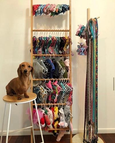 Dogilike.com :: รู้จักเจ้า Daisy ดัชชุนสายแฟชัน เสื้อผ้าเยอะจนเจ้าของต้องยกตู้ให้!