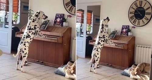 Dogilike.com :: น่ารักไม่ไหว! เจ้าของแอบถ่ายคลิปเจ้าตูบทั้งร้องทั้งเล่นเปียโน(คลิป)