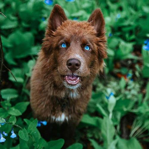 Dogilike.com :: สวยตะลึง! ไซบีเรียนฯ สีน้ำตาลกับการเดินทาง 48 เมืองในสหรัฐฯ