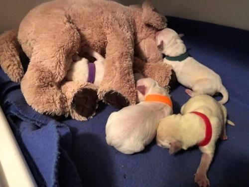 Dogilike.com :: เผยความน่ารัก! คอร์กี้แม่ลูกอ่อนรับเลี้ยง 4 ลูกสุนัขกำพร้า